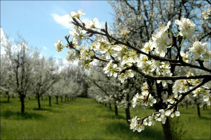 Avril 2006 : Arbre en fleur au village des Pruniers, France.