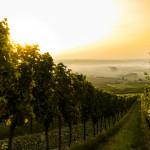 Lever de soleil sur un vignoble.